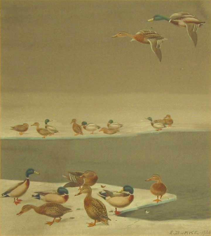 Ducks on the winter ice: 7 in the foreground, 9 in the background, 2 in flight overhead. Edgar Burke.