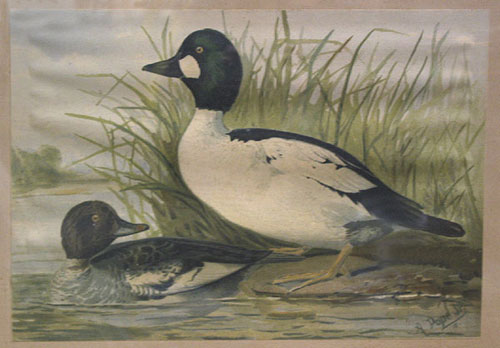 Chromolithograph of two ducks, from Upland game birds and water fowl of the United States. Alexander Pope, Jr.