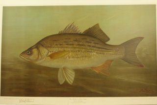 "Angling Chromolithograph: ""The White or Silver Bass."" From The Fishes of North America That..."