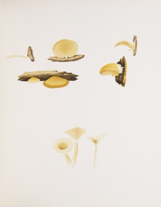 Icones Farlowianae. Illustrations of the Large Fungi of Eastern North America