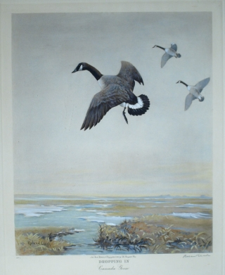 Dropping In. Canada Goose