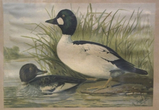 Chromolithograph of two ducks, from Upland game birds and water fowl of the United States....