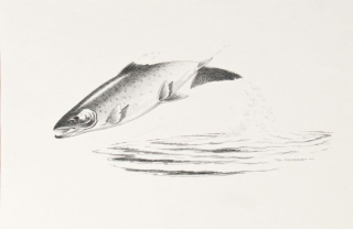 Original Pencil Drawings for 'Angling for for Atlantic Salmon' by Shirley E. Woods 1976